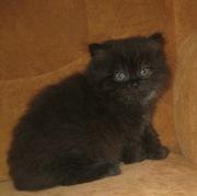 шотландские шоколадные длинношерстные котята (хайленды)