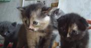 шотландские котята разных окрасов