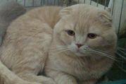 Вязка красивый вислоухий кот