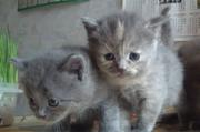 шотландские котята страйт