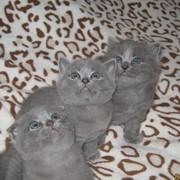 Предлагаю красивейших котят