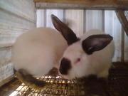продаются кролики. недорого