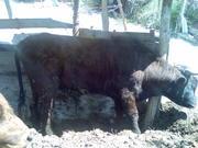 Продам 2 быка