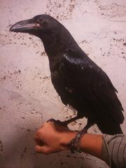 Ручные птенцы черного ворона