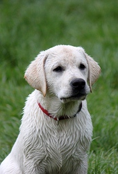 продаются палевые щенки лабрадора в Крыму