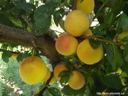 ТПО предлагает саженцы плодовых,  ягодных и декоративных культур