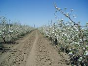 Плодоносящий яблоневый сад в Крыму.- 4, 8 Га (Свидетельство,  документы готовы)