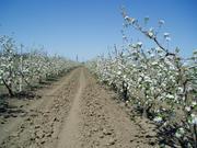 Плодоносящий яблоневый сад в Крыму.4, 8 Га (Свидетельство, документы готовы)