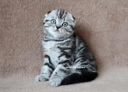 Шотландские котята. Симферополь.